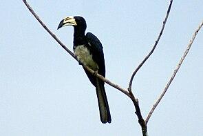 Elstertoko (Tockus fasciatus)