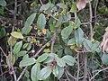Embelia robusta (17307906966).jpg