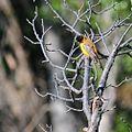 Emberiza melanocephala Nevşehir, Turkey 2.jpg