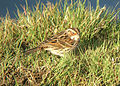 Emberiza pusilla Harrington Burn 3.jpg