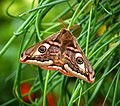 Emperor Moth (27732858438).jpg
