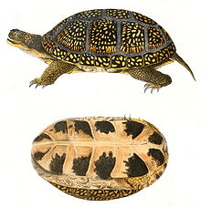 An illustration of a side of a turtle on a white background. The turtle has small, yellow spots on its shell; the bottom side of the shell is pictured bottom