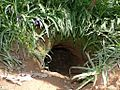 Entrance to Badger sett.jpg
