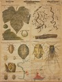Entwicklungszyklus d Reblaus 2 ca 1880.tif