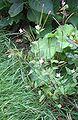 EpilobiumMontanum-plant-kl.jpg