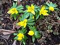 Eranthis hyemalis - Kew 1.jpg