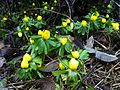 Eranthis hyemalis Mainz Finthen 30th January.JPG