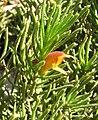 Eremophila subteretifolia.jpg