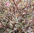 Eriogonum wrightii var wrightii 10.jpg