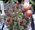 Eriosyce paucicostata 2e.jpg