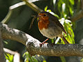 Erithacus rubecula -Canary Islands, Spain -adult-8 (1).jpg