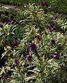 Erysimum linifolium variegatum - Flickr - peganum.jpg