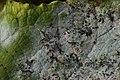 Erysiphe sp. on Salix caprea (26788773509).jpg