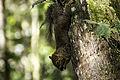 Esquilo paranaense.jpg