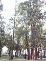 Eucalyptus Sao Paulo.jpg