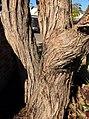 Eucalyptus baxteri - trunk bark.jpg