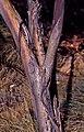 Eucalyptus gillenii bark.jpg