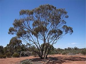 Eucalyptus polybractea habit.jpg
