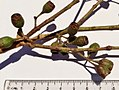 Eucalyptus tricarpa - fruit.jpg