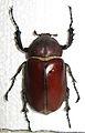 Euchirus longimanus female.JPG