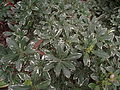 Euonymus japonicus 'silver king'.JPG
