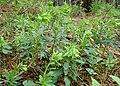 Euphorbia amygdaloides kz07.jpg