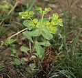 Euphorbia helioscopia-2.jpg