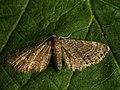 Eupithecia sp. (40679710044).jpg