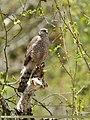 Eurasian Sparrowhawk (Accipiter nisus) (34157064844).jpg