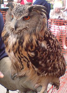 A en:European Eagle Owl taken at the market square in en:Stafford in front of the Guildhall Shopping Center