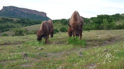 Податотека:European Bison at Studen Kladenets.webm