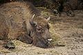 European bison in Pszczyna (4600982864).jpg