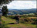 Exmoor and Pony - geograph.org.uk - 7196.jpg