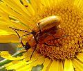 Exosoma lusitanica. Chrysomelidae - Flickr - gailhampshire (1).jpg