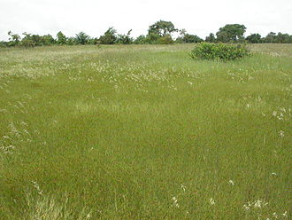 Crex - Grasslands in Africa are the main year-round location for African crake, and form the wintering habitat for corn crake.