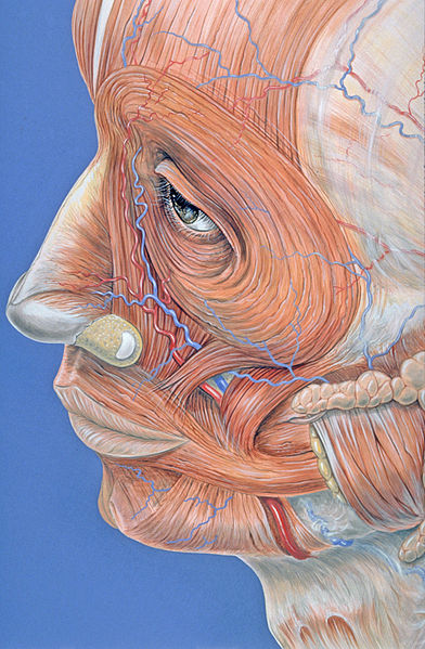 File:Facial muscles.jpg