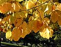 Fagus sylvatica autumn leaves.jpg
