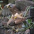 Falco tinnunculus -Artis Zoo, Netherlands -mating-8a.jpg