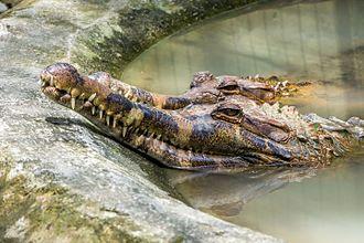 Gembira Loka Zoo - Image: False gharial (Tomistoma schlegelii), Gembira Loka Zoo, 2015 01 15 01