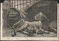 Felis leo - 1700-1880 - Print - Iconographia Zoologica - Special Collections University of Amsterdam - UBA01 IZ22100031.tif