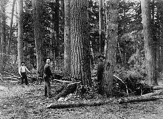 Ottawa River timber trade - Felling timber using a crosscut saw, Ontario