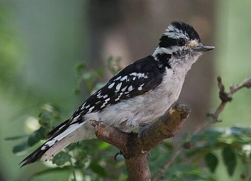 Female Downy Woodpecker on Bough