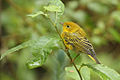 Female Yellow Warbler.jpg