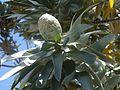 Female cone Leucodendron argenteum.jpg