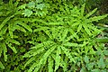 Fern and Clover Detail, Willamette National Forest (23564237709).jpg