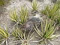 Ferocactus hamatacanthus and Agave lechuguilla (5676318329).jpg