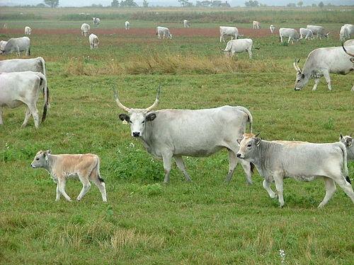 Típusú szarvasmarhák