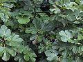 Ficus carica01.jpg