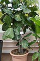Ficus lyrata-Jardin botanique Jean-Marie Pelt (1).jpg