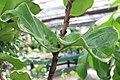 Ficus lyrata 11zz.jpg